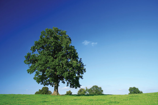 available-landscape-tree
